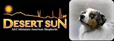 australian shepherd los angeles desert sun mini u0027s akc miniature american shepherds formally
