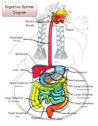 fetal pig diagram answers periodic u0026 diagrams science