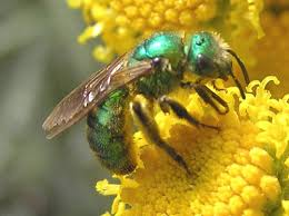 Bee Deterrent For Patio How To Get Rid Of Sweat Bees The Best Sweat Bee Repellent Trap