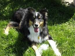 australian shepherd akc best 25 black tri australian shepherd ideas on pinterest toy