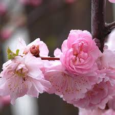 flowering almond shrub for sale fast growing trees