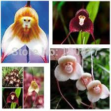 Monkey Orchids Monkey Orchid Flowers Online Orchid Monkey Face Flowers Seeds