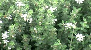 best australian native hedge plants grey box westringia is a drought tolerant native box hedge plant