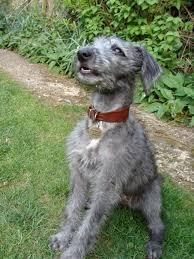 bedlington terrier stud bedlington terrier whippet cross dogs pinterest bedlington