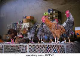 chickens for sale stock photo royalty free image 3798039 alamy