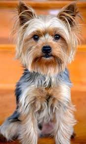 haircuts for yorkies with thin hair yorkie haircuts yorkie hair styles yorkshireterrier i dogs