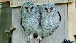 Where Does The Barn Owl Live Bird Cams Faq Barred Owl Nest All About Birds