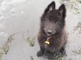 belgian sheepdog litters blackforest u0027s call of the wild u2013 tikaani u2013 blackforest belgian