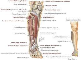 Bicep Innervation Fibular Peroneal Neuropathy Physical Medicine And