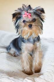 haircuts for yorkie dogs females yorkie names cute male female yorkshire terrier names yorkies