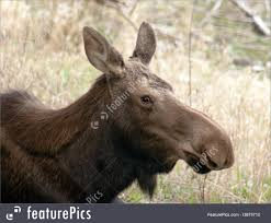 Alaska Wild Animals images Wildlife animals big cow moose northern alaska wild animal jpg
