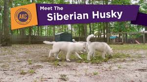 australian shepherd trackid sp 006 siberian husky dog breed information american kennel club