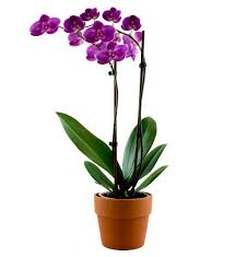 purple orchid flower imperial purple orchid avas flowers
