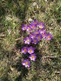free photo blooming flower violet crocus bloom spring nature max