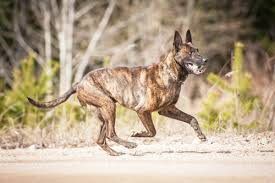 belgian shepherd for sale australia 15 dog breeds you think you want but probably shouldn u0027t get