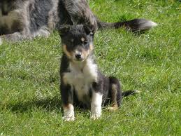 australian shepherd x kelpie border collie x kelpie puppies for sale knighton powys