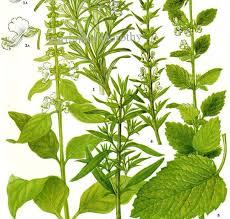 herb chart rosemary savory basil lemon balm spice herb chart plant