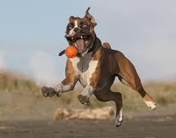 boxer dog 2015 boxer dog playing with ball