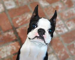 Boston Terrier Flag Boston Terriers Wallpapers Android Apps On Google Play