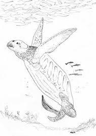 terrifying organs of male turtles scientific american blog
