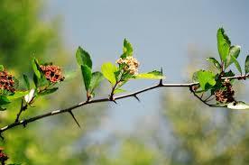 native plant nursery portland oregon black hawthorn crataegus douglasii u0026 gozo plant crataegus