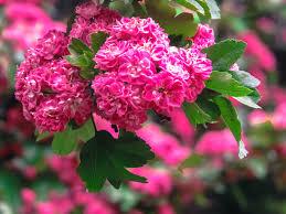 free images nature bokeh flower petal bloom love rose red