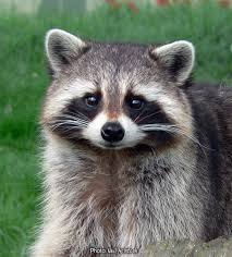 New York wildlife images Raccoons of new york jpg