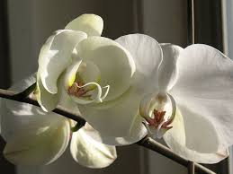 white orchids care for a white orchid plant garden guides