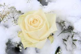 a solitaire white rose in the snow stock photo picture and