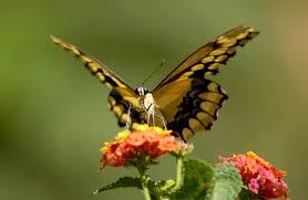 butterfly facts for kids butterfly habitat u0026 diet