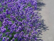 lavender flowers lavender flowers hgtv