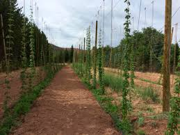 Hops On Trellis Local Small Scale Hops Growers Tap Into The Thriving Beer Making