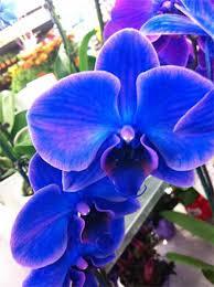 Blue Orchids Blue Orchids Love Em Or Ubloom