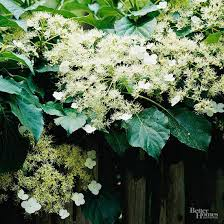 Climbing Plants That Flower All Year - vines