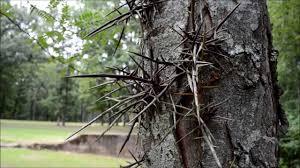 honey locust tree aka thorny locust