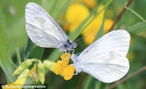 cryptic wood white butterfly discovered in northern