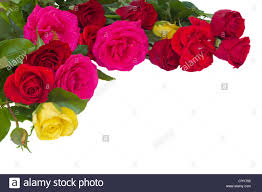 multicolored roses bouquet of multicolored roses isolated on white background stock