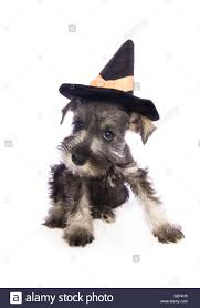 halloween dog background adorable halloween miniature schnauzer puppy wearing witch hat
