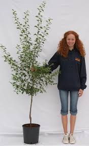 Large Planters For Trees by Bare Root Or Pot Grown Fruit Trees