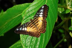 tiger striped butterfly by tkguess on deviantart