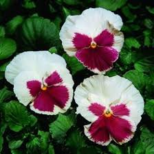 Flower Seeds Online - 500 pansy seeds character spring song mix buy flower seeds online