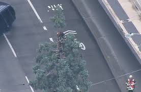downtown seattle comes to standstill as climbs tree curbed