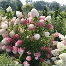 hydrangea white proven winners 3 gal zinfin doll hardy hydrangea paniculata