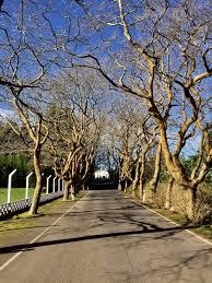 san francisco trees