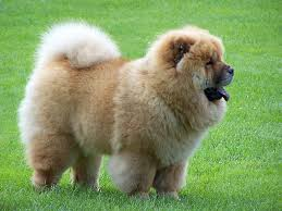 lion dogs chow chow lion dog