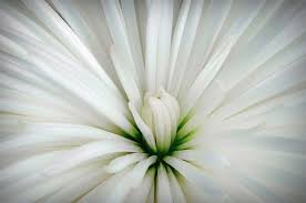 white flower white flower unblemished photograph by raderstorf