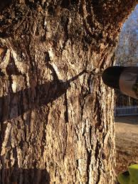 how to tap a tree for maple syrup the home depot community