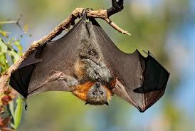 flying fox photos incredible snaps