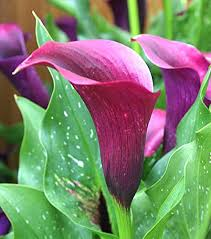 cala lillies how to grow calla plants in pots
