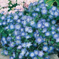 baby blue nemophila baby blue seeds from mr fothergill s seeds and plants
